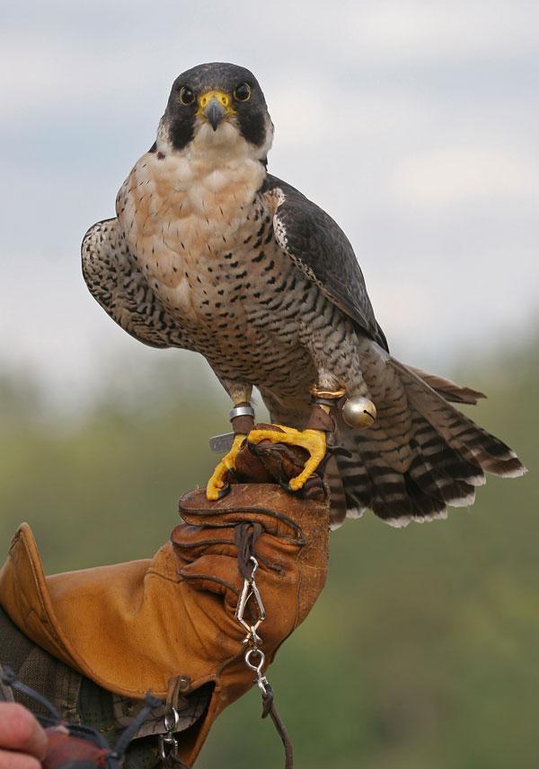 la chasse au vol